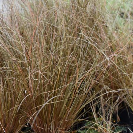 Carex comans 'Little Red'